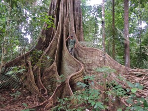 Matt stands between the majestic trunk of this very old tree in Guyana's forest