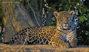 Guyana is one of few places where the jaguar thrives (Photo by Steve Winter)