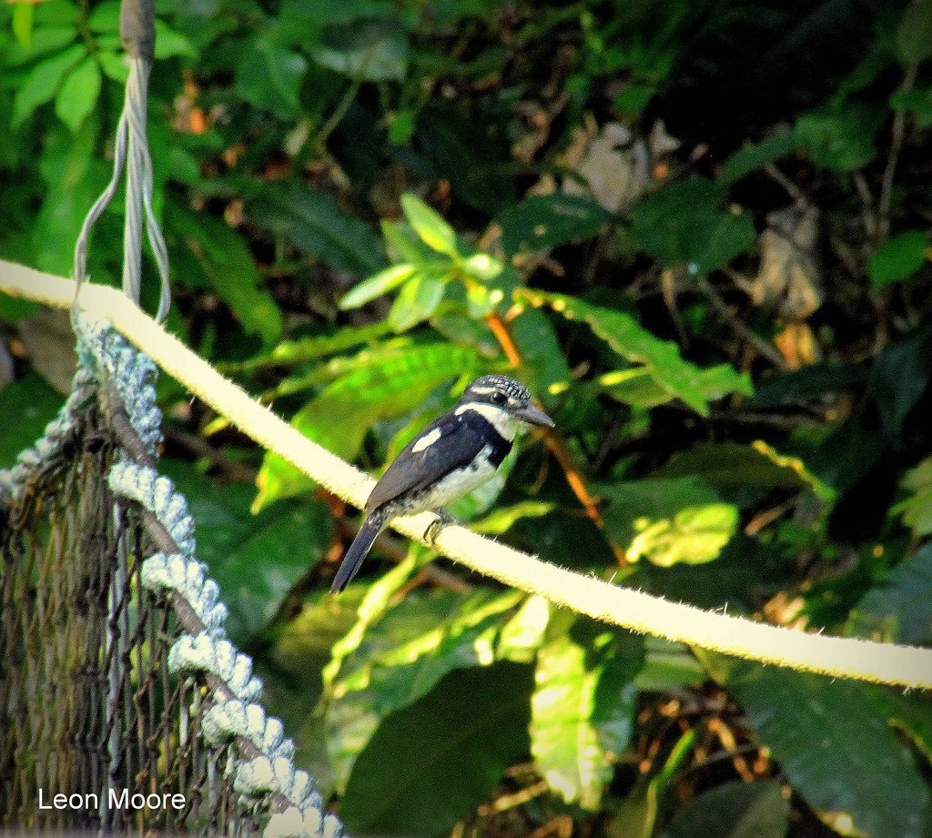 A bird perches on the canopy along the walkway (Leon Moore photo) & Experience the airy heights of the Iwokrama Canopy Walkway