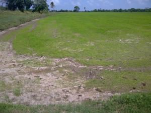 A rice field which is very dry due to the lack of water