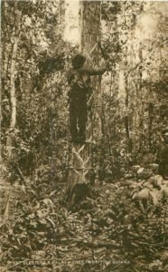 Bleeding a balata tree in British Guiana (No Date)